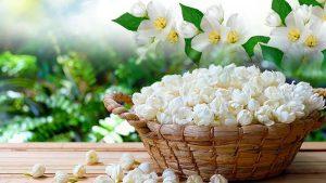 Những điều cần biết về tinh dầu hoa nhài